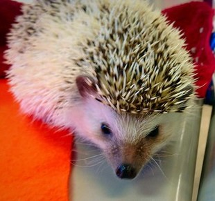 This is Sonic also known as Coconut, our class hedge hog!